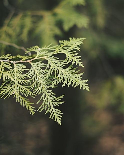 Cedar Tree Leaves